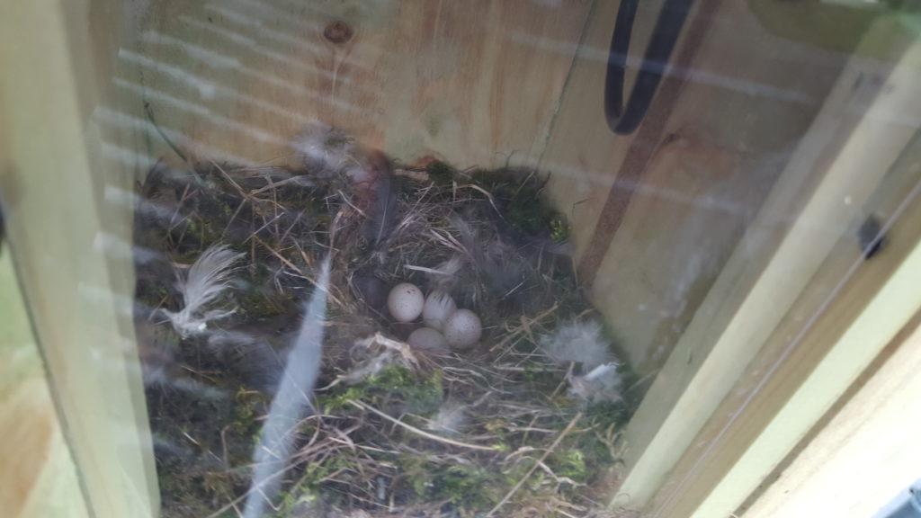 Ein Schnappschuss von den Eiern im Nistkasten