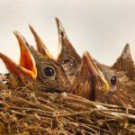 Brutzeiten von Vögeln