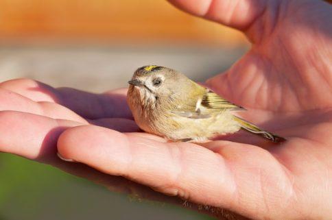 Vogel auf Hand - Vogel in Not