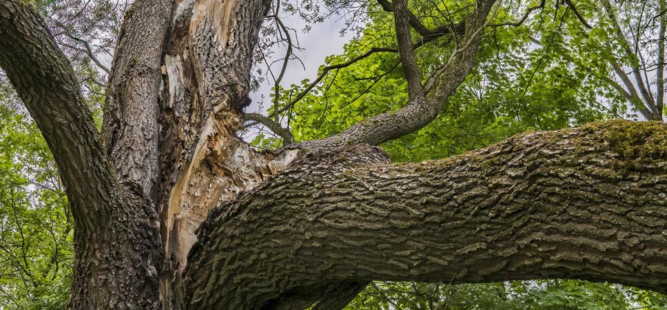 vogelfreundlicher-Garten-Alter-Baum