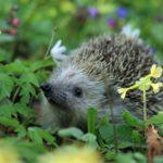 Igel im Garten - Alles was Sie über Igel wissen müssen und wie Sie Igel am besten beobachten