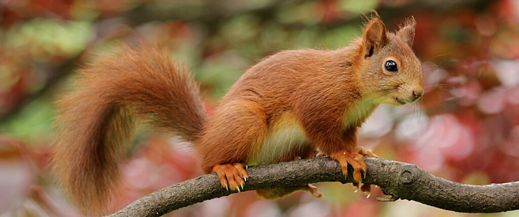 Eichhörnchen-Ast