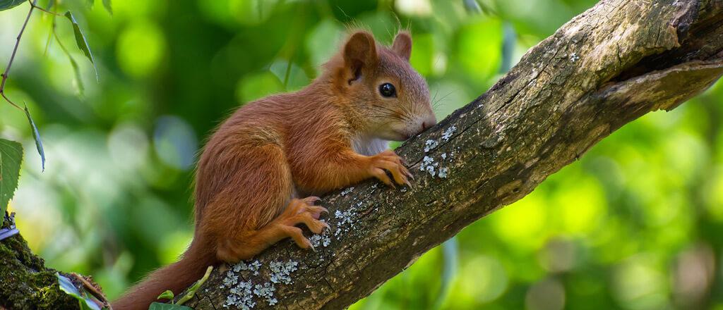 Eichhörnchen-Baby