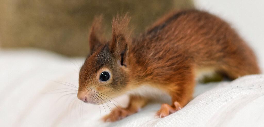 Eichhörnchen-Nachwuchs