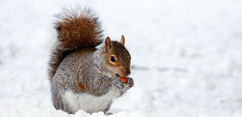 Eichhörnchen-Winter